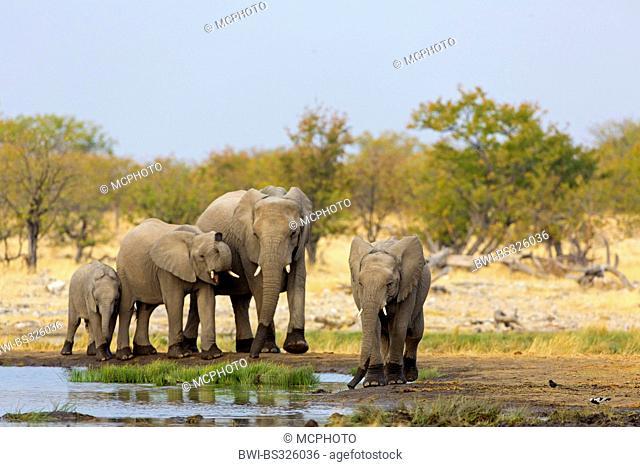 African elephant (Loxodonta africana), cow elephant with three calves at drinking place, Namibia, Oshikoto, Etosha National Park, Riedfontein Fountain