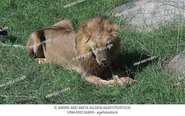 Male Lion (Panthera leo) cleaning paw and nose