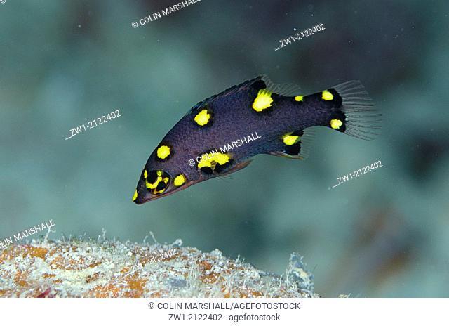 Juvenile Splitlevel Hogfish (Bodianus mesothorax) at Beacon Slope dive site off Nyata Island near Alor in eastern Indonesia