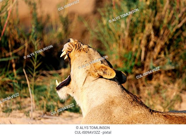 Lioness yawning, Sabi Sand Game Reserve, South Africa