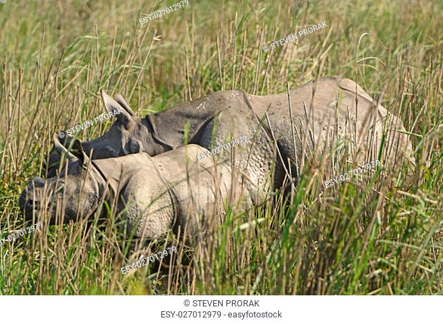 Mother and Baby rhino in the grasslands of Kaziranga National Park in India