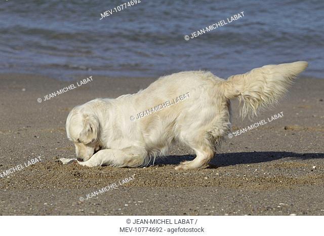 Dog - Golden Retreiver digging / playing on beach