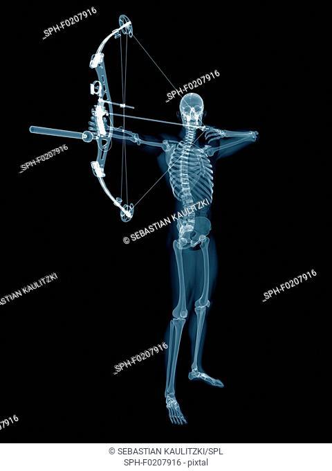 Skeletal structure of an archer, illustration