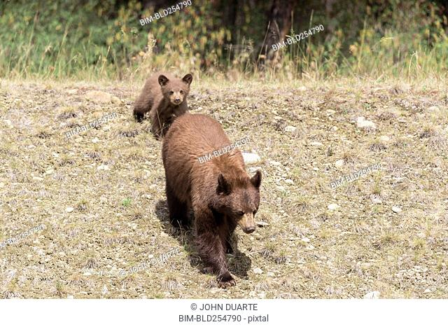 Bears walking in field