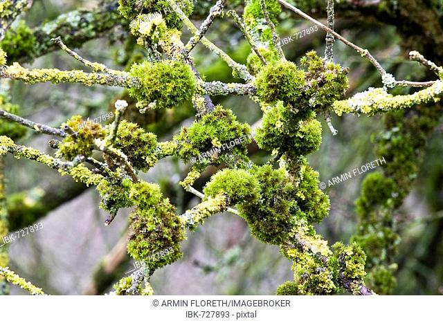 Mosses (Bryophyta) and Lichens