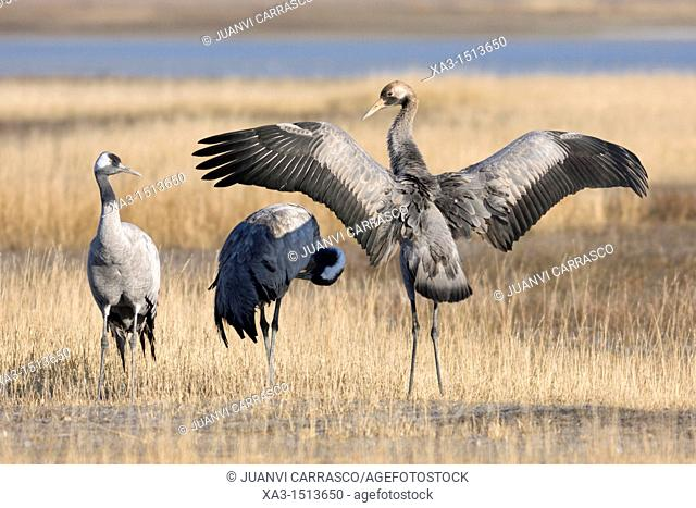 Group of common cranes, Grus grus, at Gallocanta, Teruel, Spain