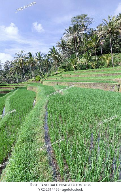 Rice terraces at the entrance to Gunung Kawi temple complex, Tampaksiring, Bali, Indonesia