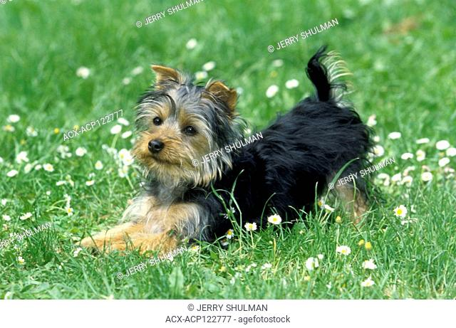Silky Terrier Puppy hind legs up, front part of body on the grass