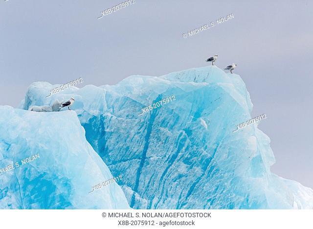 Adult glaucous gulls, Larus hyperboreus, on calved iceberg at Monacobreen, Spitsbergen, Svalbard, Norway