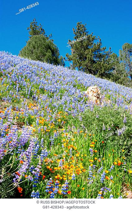 California Poppies (Eschscholzia californica) and Lupine (Lupinus sparsiflorus) on hillside, Figueroa Mountain, Los Padres National Forest, California