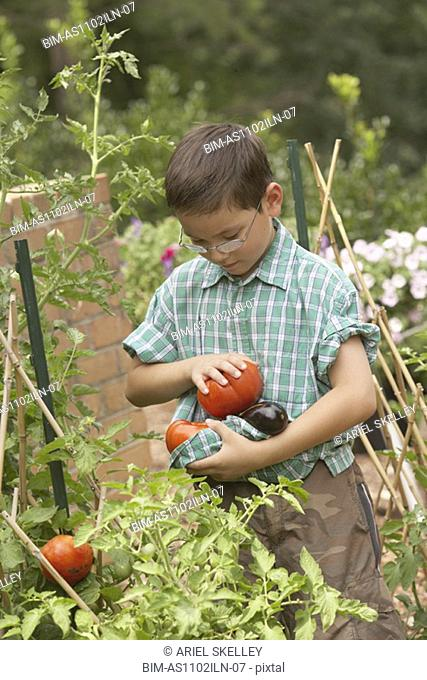 Young Asian boy picking tomatoes in garden