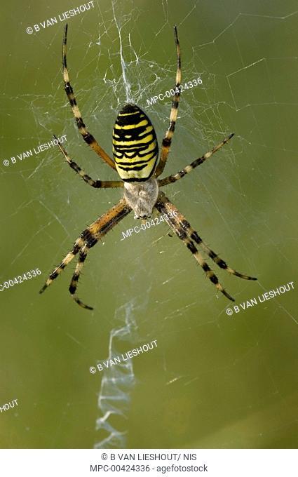 Wasp Spider (Argiope bruennichi) female in her web, Erp, Netherlands
