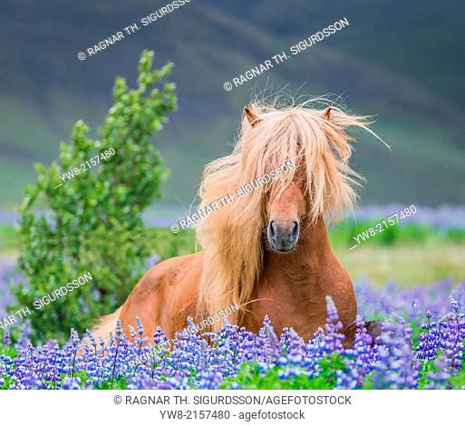 Horse running by lupines. Purebred Icelandic horse in the summertime with blooming lupines, Iceland