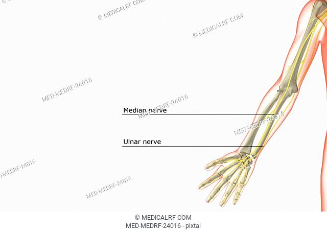 The nerves of the upper limb