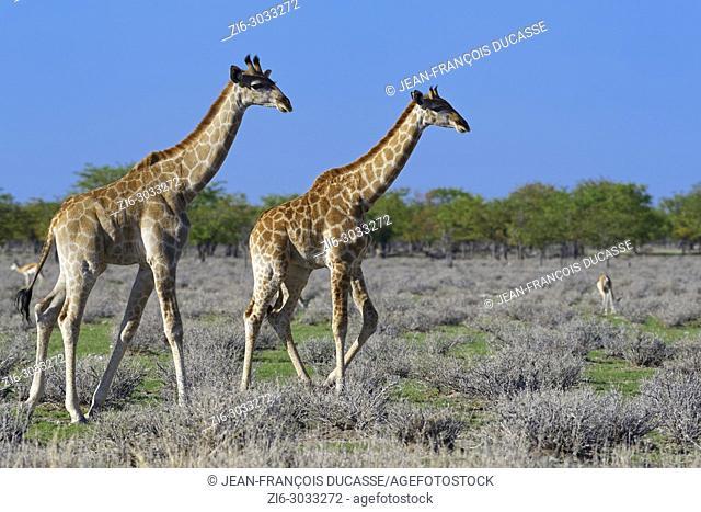 Namibian giraffes or Angolan giraffes (Giraffa camelopardalis angolensis), two young walking, Etosha National Park, Namibia, Africa