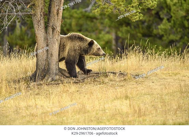 Grizzly bear (Ursus arctos)- Scratching and rubbing sides on a tree trunk, Chilcotin Wilderness, BC Interior, Canada