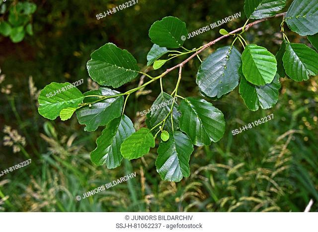 Common Alder, European Alder (Alnus glutinosa), twig with leaves