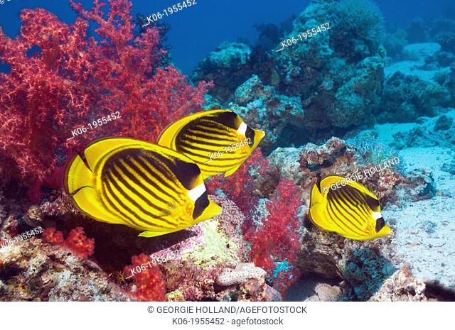 Red Sea raccoon butterflyfish (Chaetodon fasciatus) over coral reef with soft corals. Egypt, Red Sea