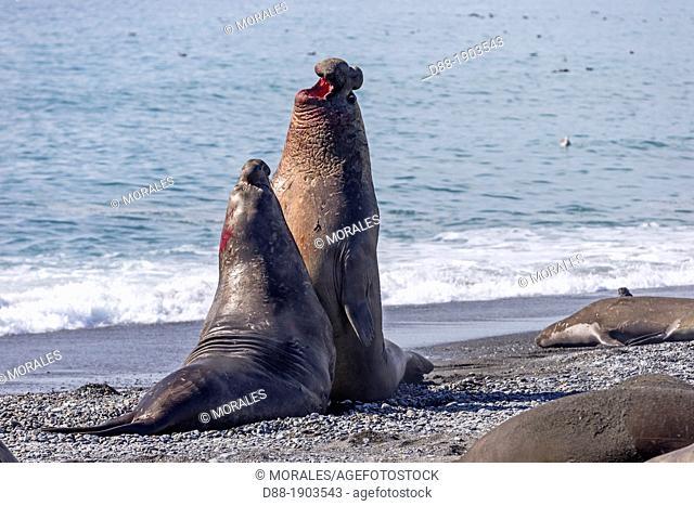 United Kingdom, South Georgia Islands, Saint Andrews plains, Southern Elephnat Seal, Mirounga leonina, males fighting