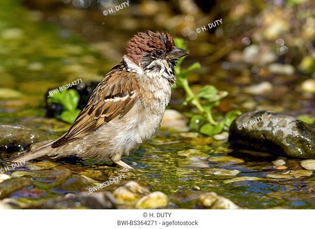 Eurasian tree sparrow (Passer montanus), bathing, Germany