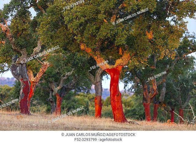 Cork Oak, Mediterranean forest, Sierra de San Pedro, Cáceres, Extremadura, Spain, Europe