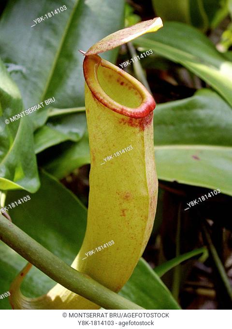 Carnivorous plant Nephentes Khasiana with red lip