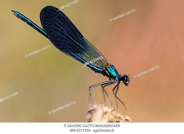 Banded demoiselle (Calopteryx splendens), adult male perched, Campania, Italy