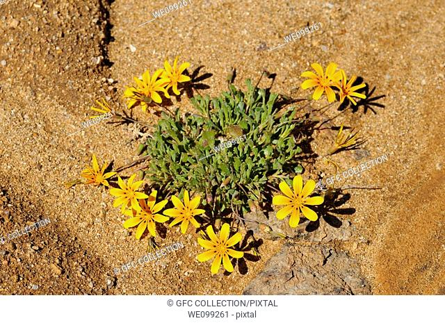 Gazania lichtensteinii, Namaqualand, South Africa