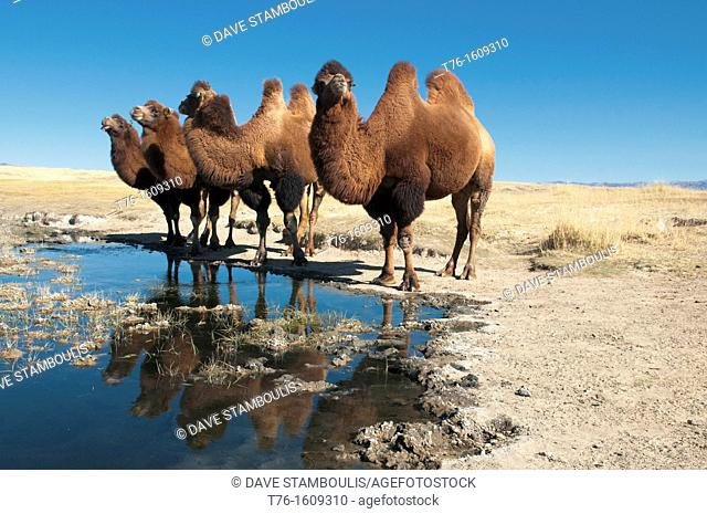twin humped Bactrian camels in the Gobi Desert of Mongolia