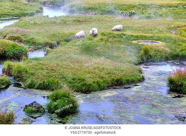 sheep grazing in the hot springs of Landmannalaugar, Fjallabak Nature Reserve, Rangárþing ytra, Iceland, Europe