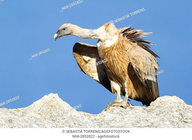 Griffon vulture (Gyps fulvus) at Serra de Tramuntana, Majorca, Balearic Islands, Spain