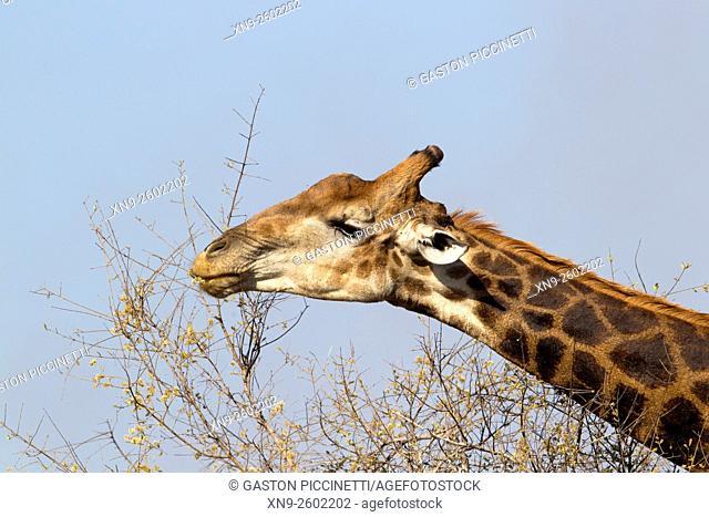Giraffe (Giraffa camelopardalis), eating, Kruger National Park, South Africa