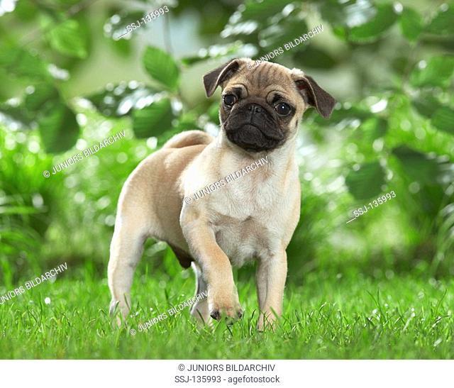 pug puppy - standing on meadow restrictions: Tierratgeber-Bücher / animal guidebooks