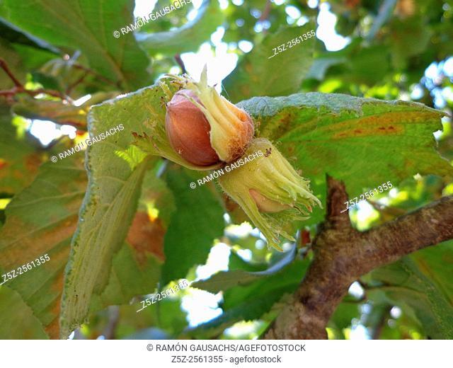 Fruit. Hazel (Corylus avellana)
