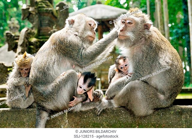 crab-eating macaques with cubs - Macaca fascicularis