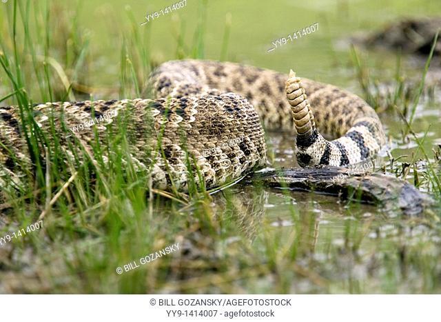Rattle of Western Diamondback Rattlesnake - Los Novios Ranch - near Cotulla, Texas USA