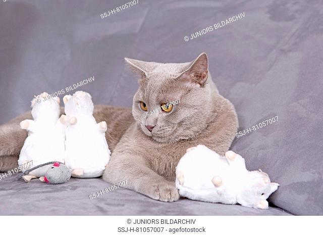 British Shorthair. Lilac tomcat (7 month old) with toy mice lying on a couch. Germany