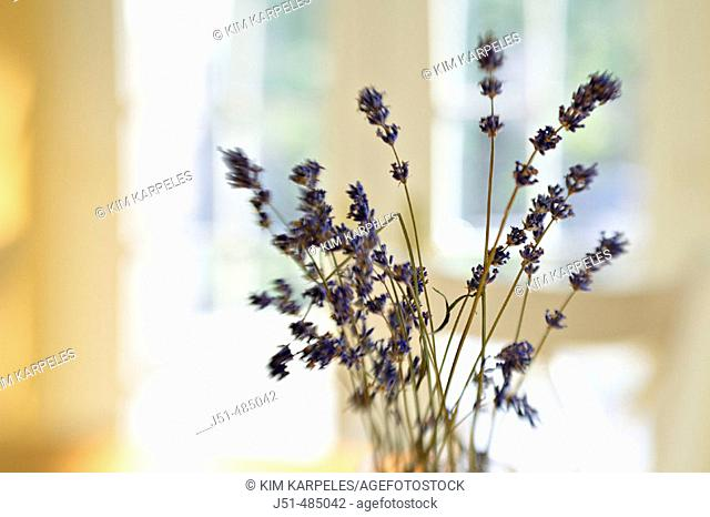 STILL LIFE  Riverwoods, Illinois. Vase hold twigs of dried lavender on kitchen table, selective focus, blurred effect with lens, abstract