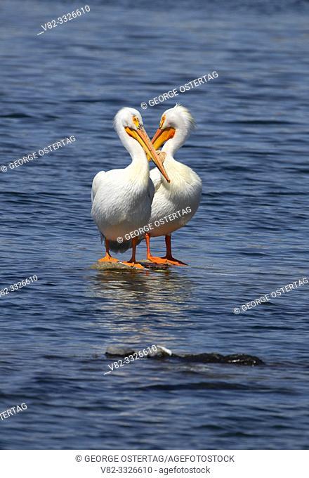 American white pelican (Pelecanus erythrorhynchos), Rocky Ford Hatchery Water Access Site, Washington