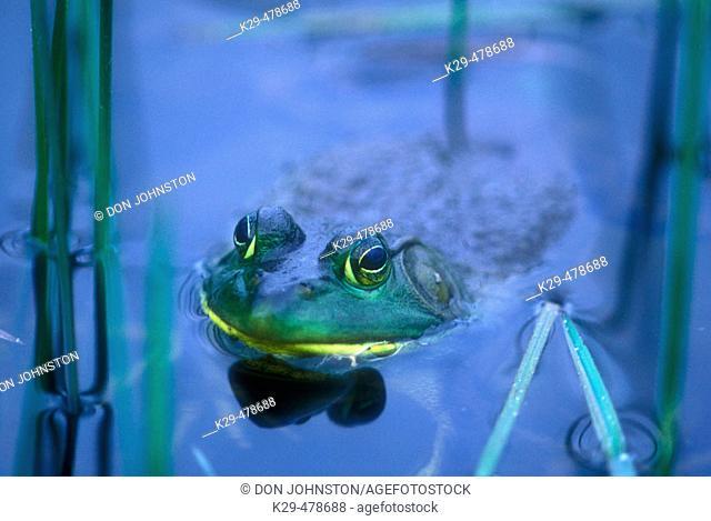 Bullfrog (Rana catesbeiana). Wanup. Ontario. Canada