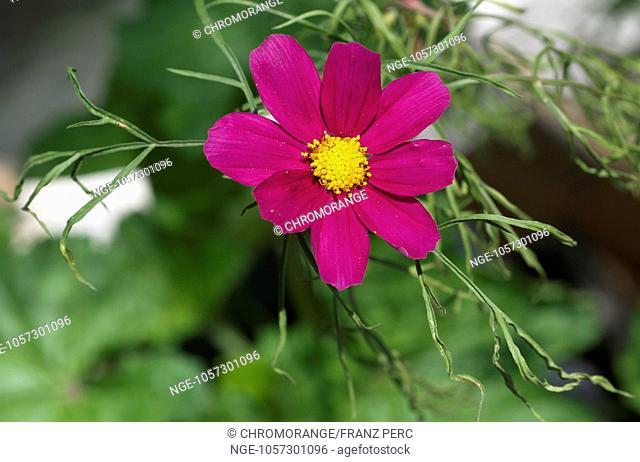 Cosmea, Cosmos bipinnatus