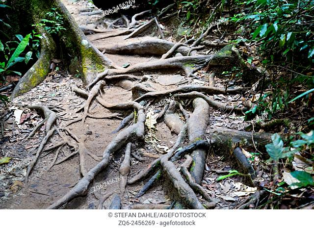 Tree Roots on the Jungle Path to the Klong Phlu Waterfall on Ko Chang, Thailand