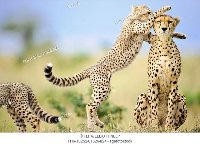 Cheetah (Acinonyx jubatus raineyii) adult female and cubs, one leaping up to mother, Masai Mara, Kenya, November