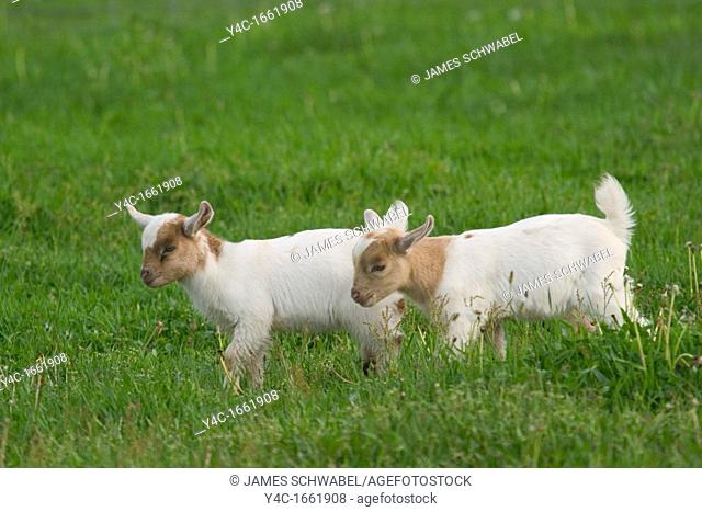 Young goats walking in field