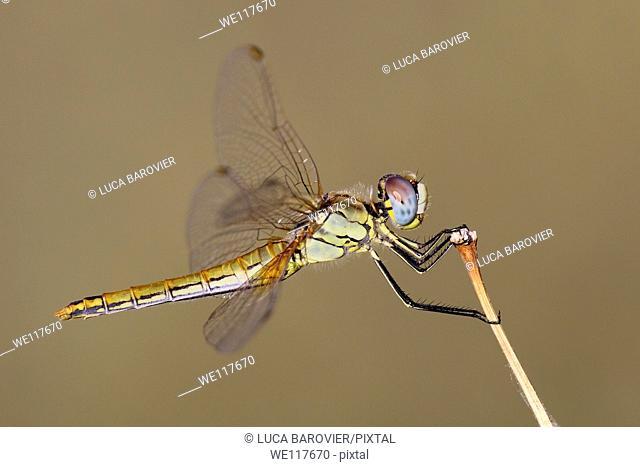 Scarlet Dragonfly, Crocothemis erythraea, female - Italy