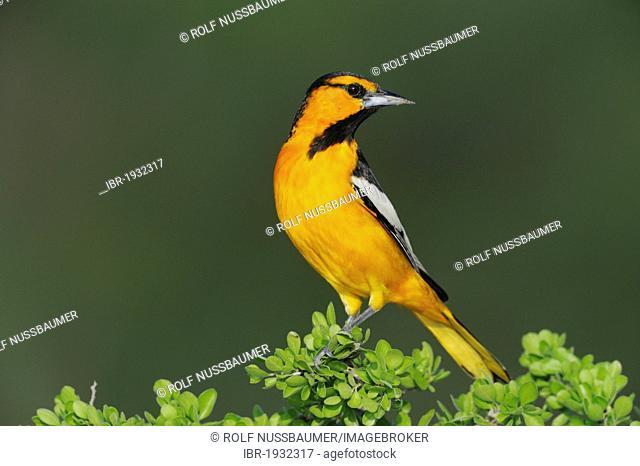 Bullock's Oriole (Icterus bullockii), male perched, Laredo, Webb County, South Texas, USA, America