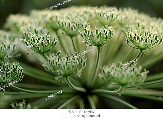 Fruiting Giant Hogweed against the light