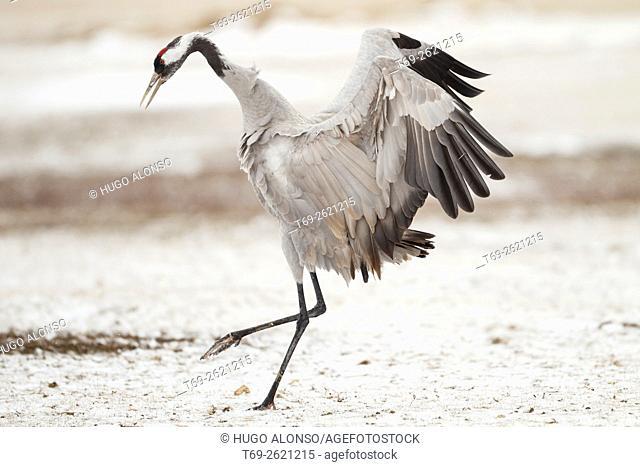 Crane flaping. Gallocanta. Spain