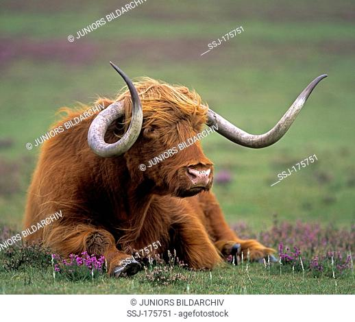 Highland cattle. Old bull lying on a pasture, Scotland
