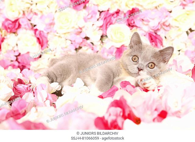 British Shorthair Cat. Kitten lying among rose flowers. Studio picture. Germany